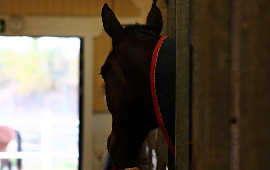 Profilbilde av hestehode